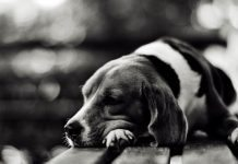 perros deprimidos por la pérdida de su dueño