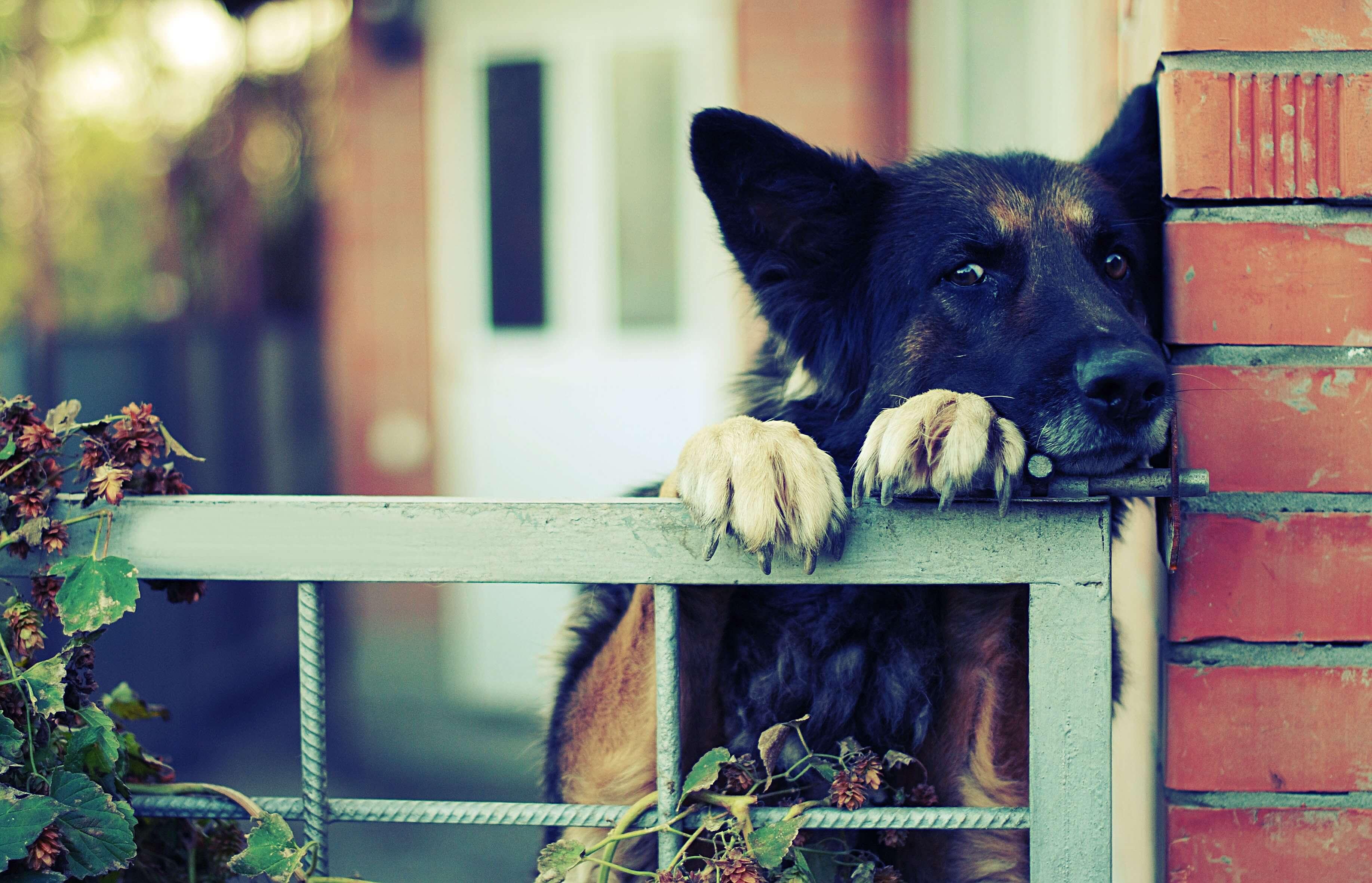 perro territorial